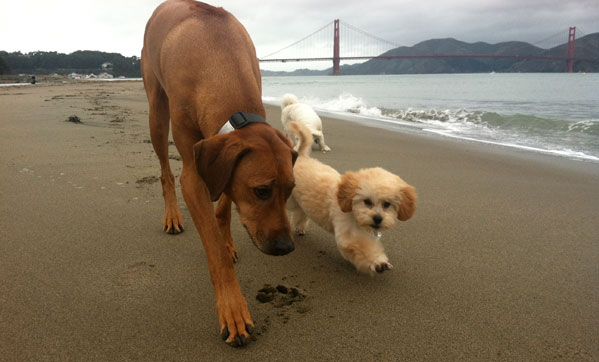 photo of DogEvolve dogs at the beach in San Francisco